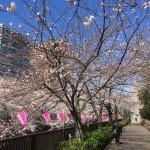 中目黒川での桜
